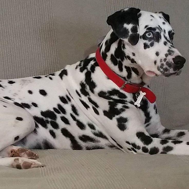 Dalmatian Puppies For Sale Kijabe Kenya