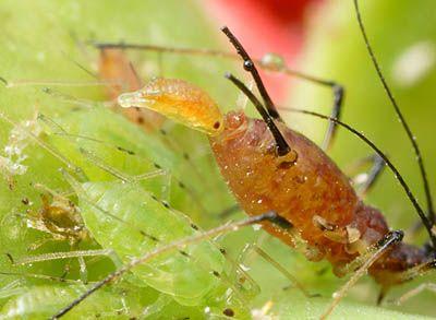Pulgón rojo del rosal (Macrosiphum rosae)  Nacimiento vivíparo