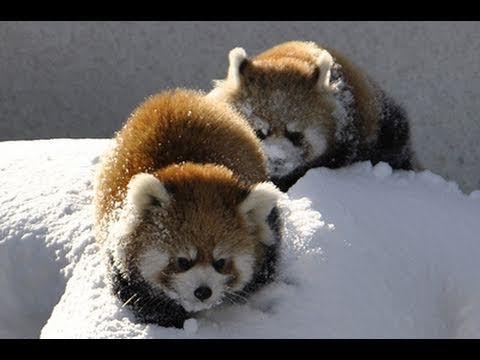 Video: Red pandas love snow