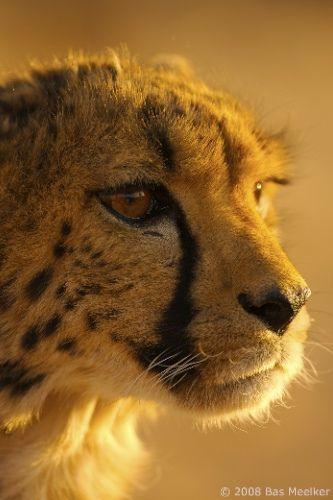Jachtluipaard - cheetah (Acinonyx jubatus)