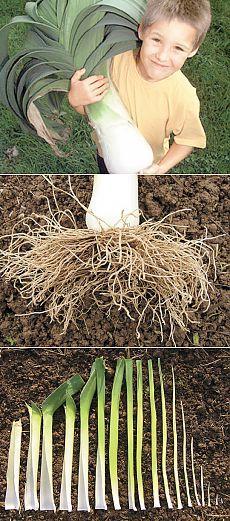 О выращивании лука-порея на дачных грядках | ОГОРОД БЕЗ ХЛОПОТ