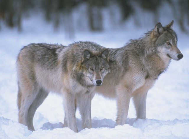 Tell USFWS to Keep Wolves on the Endangered Species List | Please SIGN and share petition. Thanks.