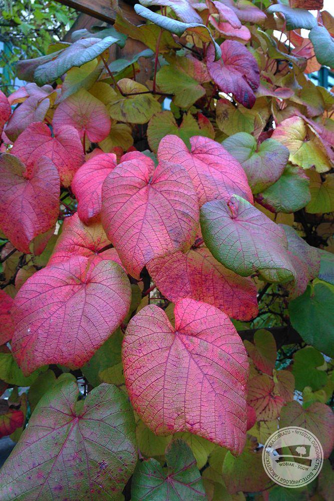 #Winorośl japońska (#Vitis coignetiae) mrozoodporne pnącze do 12 m, liście okrągłe do 30 cm, jesienią szkarłatne #jesień #budynek35 #wobiak #sggw /  / #Crimson glory #vine (#Vitis coignetiae) freezeproof #climber up to 12 m, round leaves up to 39 cm crimson in #autumn #WULS