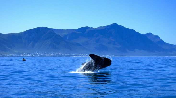 Why should you come in Cape Town during the Winter? Whale watching os one of the best reasons! From the inlands or on the sea, it is always impressive.