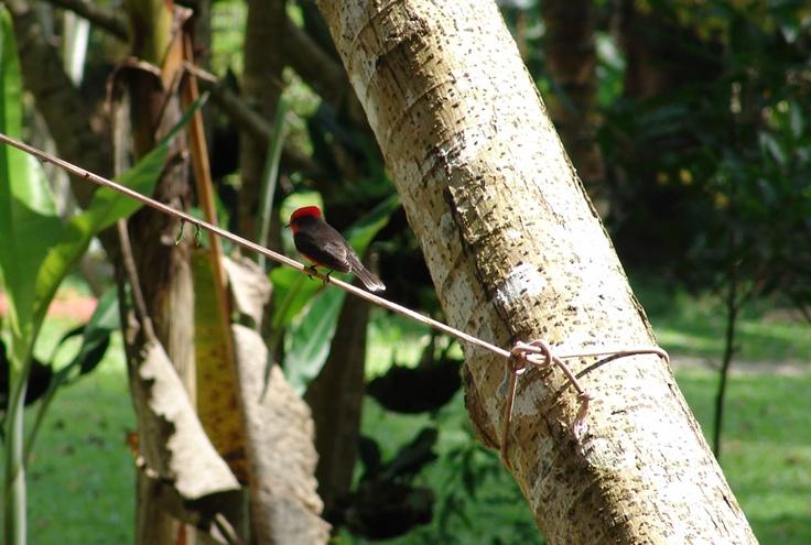 Atrapamoscas Pechirrojo sobre una cuerda en El Portal, Paraíso Natural.