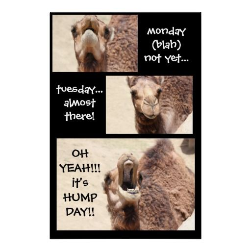 Funny Camel Hump Day COUNTDOWN Poster (24x36)