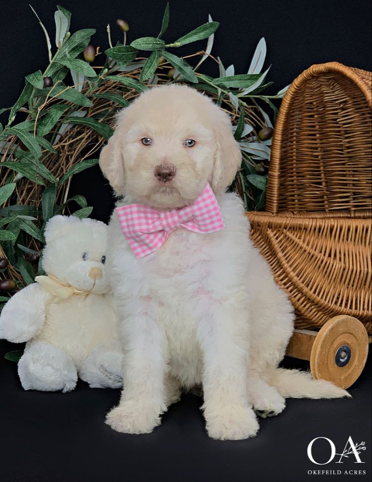 Okefeild Acres Teddybear Standard Goldendoodles in 2020