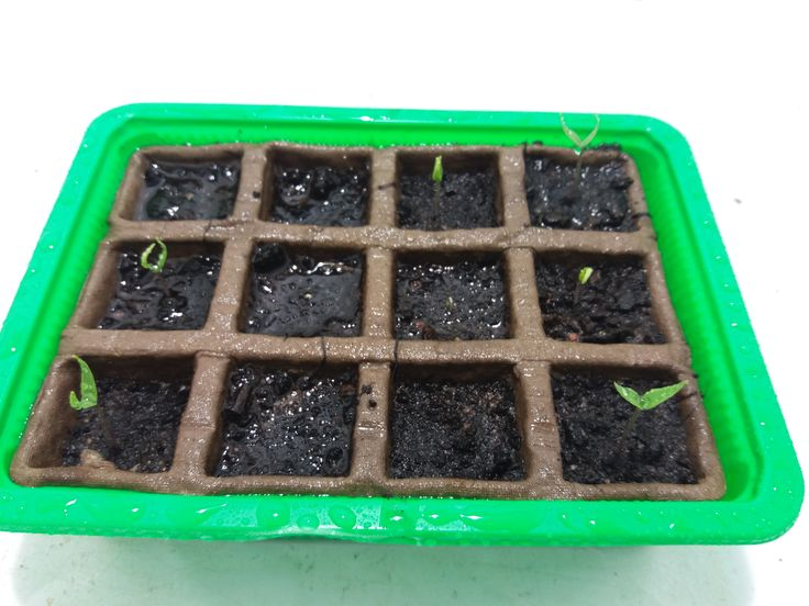 March 7th, 04:09:12 PM. Nine seedlings are emerging from the soil. In actuality, there are ten seedlings, but not all of them are visible in this picture.