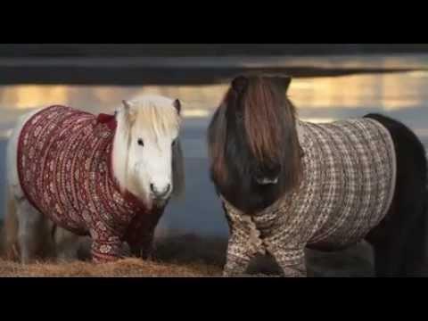 Shetland Horses wearing Shetland sweaters