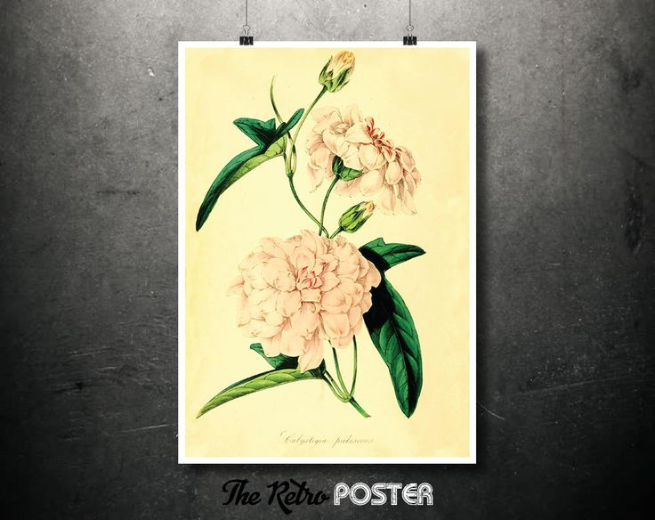 Kitchen Decor - Calystegia Pubescens (Japanese Bindweed) - Plant, Plants, Plant Print, Nature Prints, Botanical Poster Vintage, Kitchen Gift by TheRetroPoster on Etsy