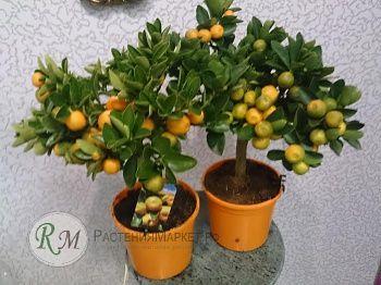 Мандариновое дерево Н35- 40, Д-15