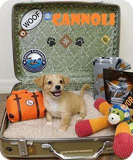 Arcadia, FL - Cocker Spaniel/Corgi Mix. Meet Cannoli, a puppy for adoption. http://www.adoptapet.com/pet/18231641-arcadia-florida-cocker-spaniel-mix
