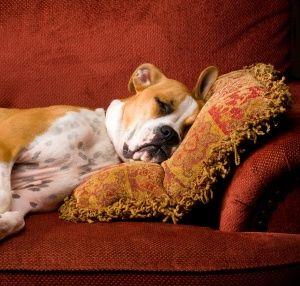 33 Best Lemon Beagle Images On Pinterest Beagle Puppy