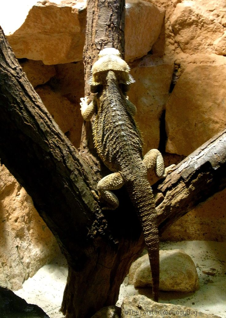 Lizard climbing - The Home Of The Twisted Red LadyBug: Four Legs Good, Two Legs Bad