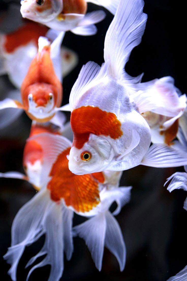how to export pet aquarium fish from japan