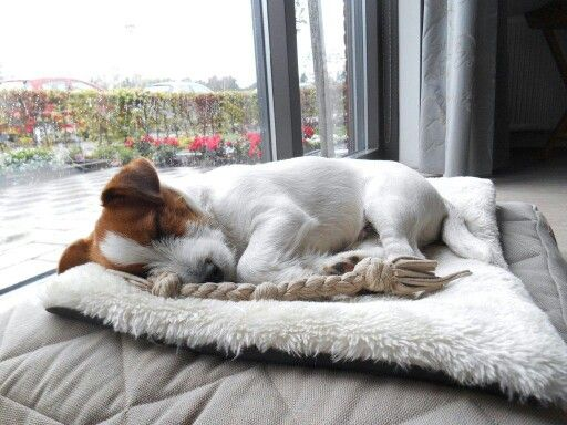 Sleepy Jack russell puppy. Gijs.