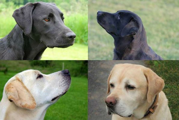 What is the Difference between American and English Labradors? Find out in this article from LTHQ: http://www.labradortraininghq.com/labrador-breed-information/the-difference-between-american-and-english-labradors/