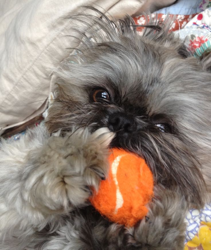 best shoo for shih tzu 3033 best shih tzu images on pinterest shih tzus dog 1413