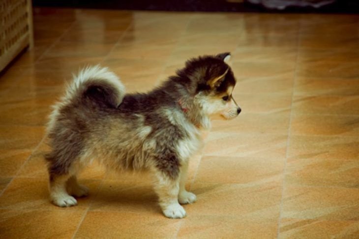 Perro mezcla de Pomeranian y Husky