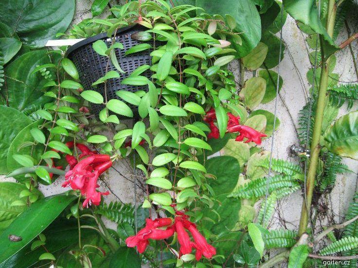 Forum Obrazek Eschynantus Aeschynanthus Javanicus Flower Garden Flowers Plants
