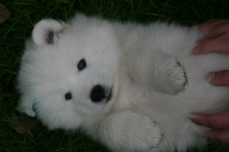 17 best ideas about Samoyed Puppies For Sale on Pinterest ...