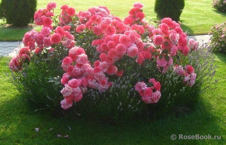 rosarium uetersen kordes roses and the other roses. Black Bedroom Furniture Sets. Home Design Ideas