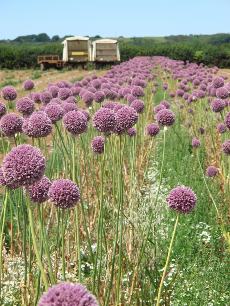 how to plant garlic pdf