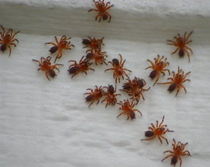 Baby black widow spiders