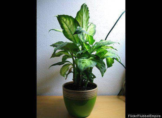 10 best images about deadly landscape plants on pinterest for Low light non toxic house plants