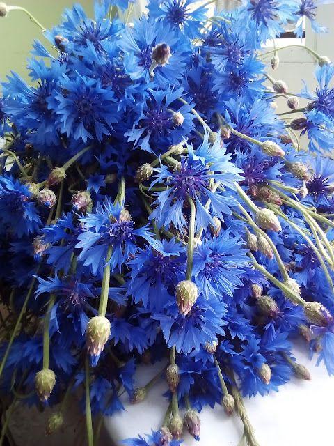Przepisy Online: Suszone kwiaty chabra bławatka