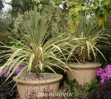 Monrovia's Torbay Dazzler Dracaena Palm details and information. Learn more…