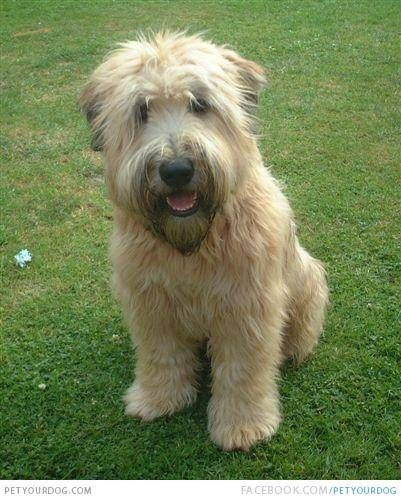 A Wheaten Terrier dog sitting alone. A Wheaten Terrier is very smart,playful and affectionate.