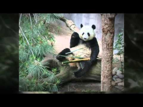 http://www.youtube.com/wat video made about Panda bears