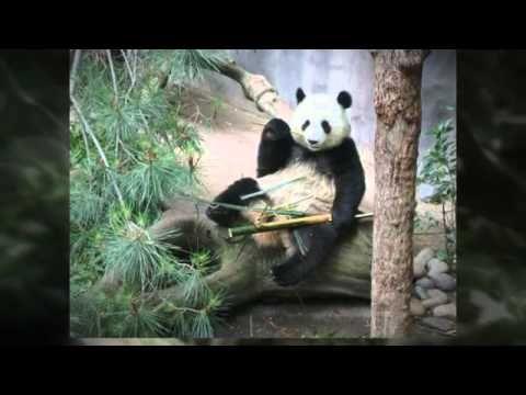 http://www.youtube.com/wat video made about Panda bears