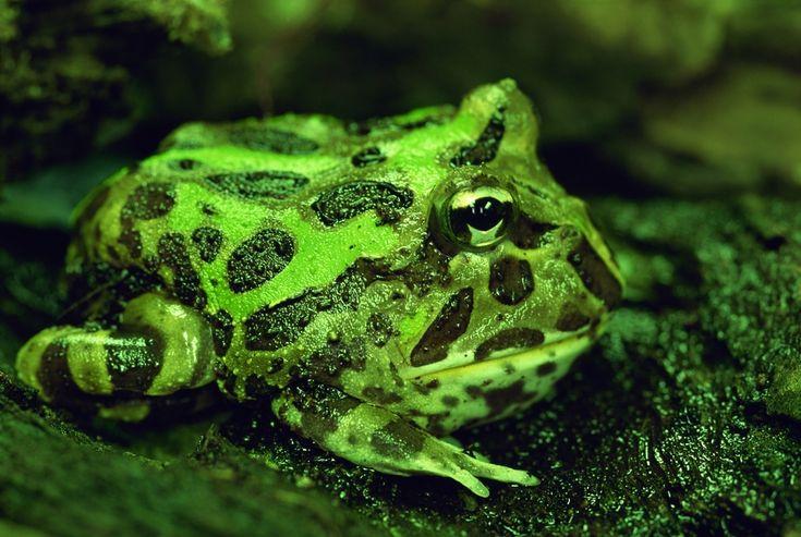 Ceratophrys cranwelli o Rana de Pacman. Se pueden mantener en un acuaterrario de tamaño medio (60x30x30) con al menos 2 dedos de agua y una zona seca, que ocupe dos tercio de la superficie del acuario. Necesitan una humedad igual o superior al 80% y temperaturas de entre 25 y 28 ºC. Es un anfibio estático que se entierra y puede quedarse inmóvil durante días hasta que ve pasar algo moviéndose delante de él. Se alimentan de una dieta mixta de grillos, ratones y peces. botanica-online.com