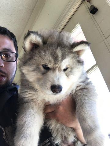 Wolf hybrid puppies  Mix puppy for sale in PALMDALE, CA. ADN-25427 on PuppyFinder.com Gender: Female. Age: 7 Weeks Old