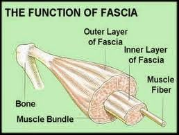 What is Fascia? Read more about muscle fascia and stretching.