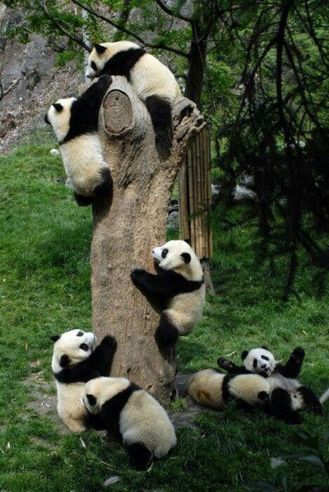 Pandas. Pandas everywhere. I wanna play!!  Would be a dream com true!!!
