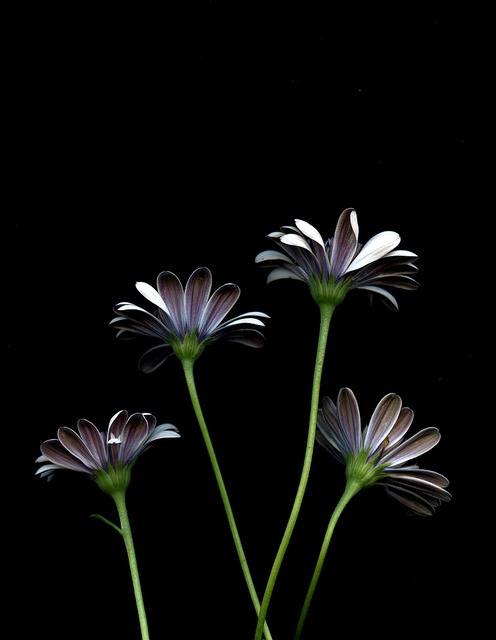 512 best flowers with black backgrounds images on