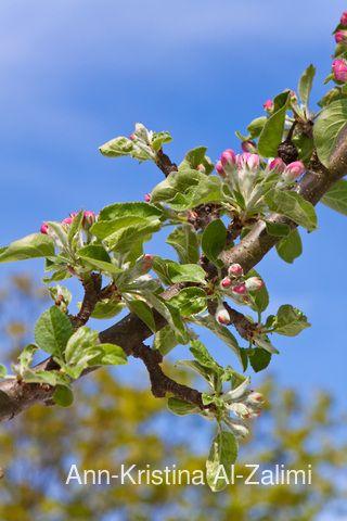 Ann-Kristina Al-Zalimi, Malus, apple tree, tree, blossom, spring, pilar tree, pilaripuu, pylväsomenapuu, äppelträd, garden, apple, omenapuu