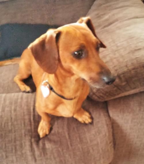 Bailey In Pa S Web Page Doxie Dogs Wiener Dog Pet Dogs
