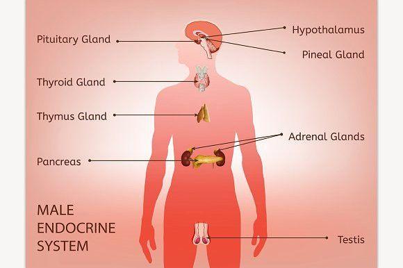Male Endocrine System Endocrine System Endocrine System