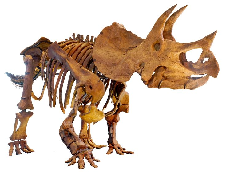 """Triceratops is a genus of herbivorous ceratopsid dinosaur that first appeared during the late Maastrichtian stage of the late Cretaceous period, about 68 million years ago in what is now North America. It is one of the last known non-avian dinosaur genera, and became extinct in the Cretaceous–Paleogene extinction event 66 million years ago.[1] The term Triceratops, which literally means """"three-horned face"""", is derived from the Greek τρί- meaning """"three"""", κέρας meaning """"horn"""", and ὤψ meaning…"""