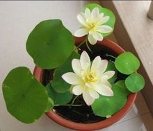 10 seeds/pack Hydroponic plant raw water bowl lotus seed raising small lotus flower seeds indoors seed sowing seasons(China (Mainland))