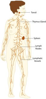 Wikipedia article about Lymphatic system