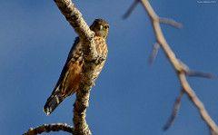Falco columbarius - Avibase