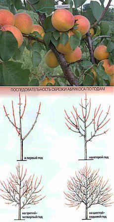 Что нужно знать об обрезке черешни и абрикоса | Дача - впрок