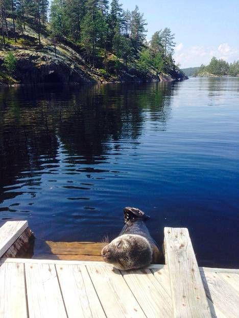 Auringosta nauttinut kuutti oli Metsähallituksen norppatutkijan mukaan kuvien perusteella hyväkuntoinen. Photo: Atte Niittylä