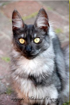 Love, Love, Love the black smoke Turkish Angora