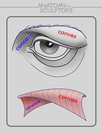 Eye anatomy. Anatomy 4 Sculptors'
